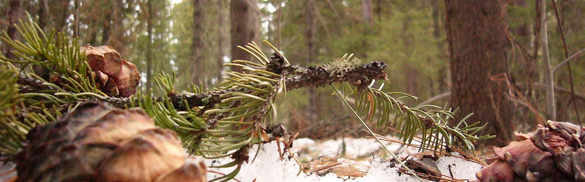 Сибирский лес в Томске отдали Китаю